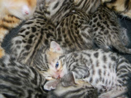 Olivia with newborn Bengal Kittens